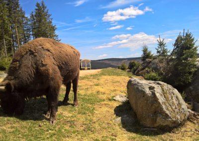 Ouverture bisons